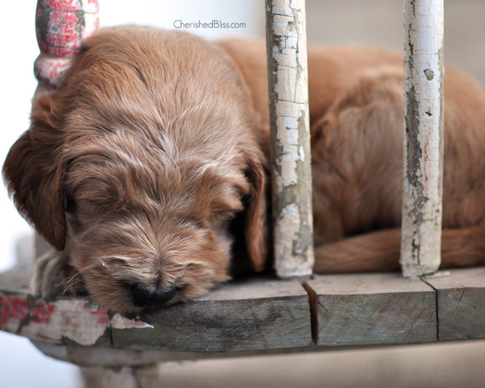 F1B Goldendoodle Puppies