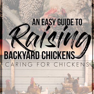 How to Easily Take Care of Chickens