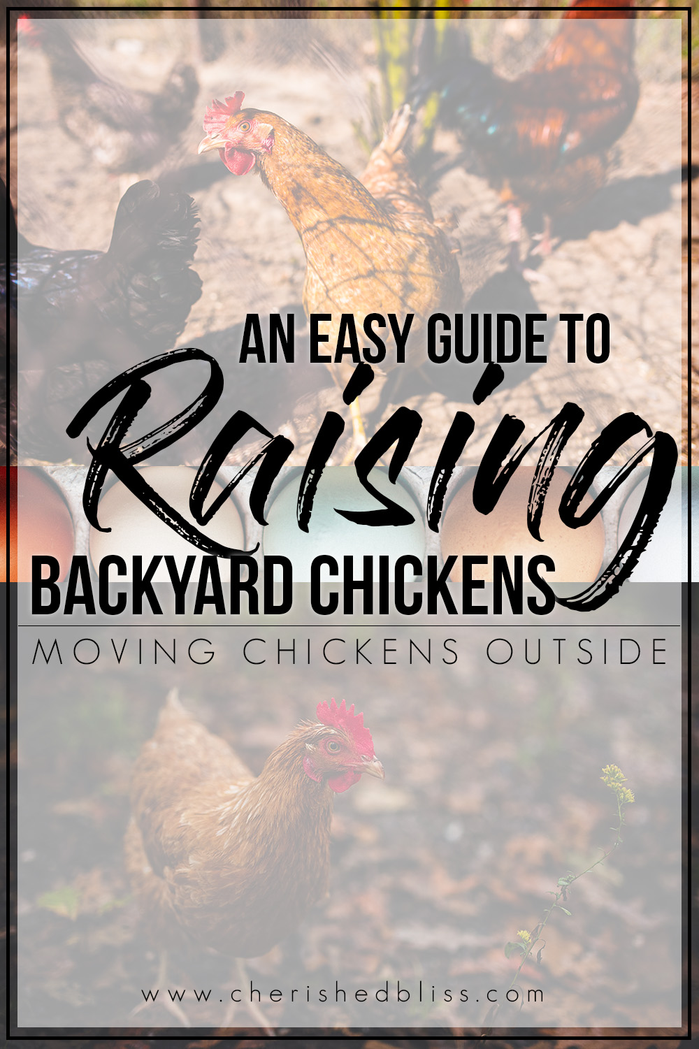 You've finally brought your chickens home and they are getting bigger. It's  time - Easy Guide To Raising Backyard Chickens Getting Started