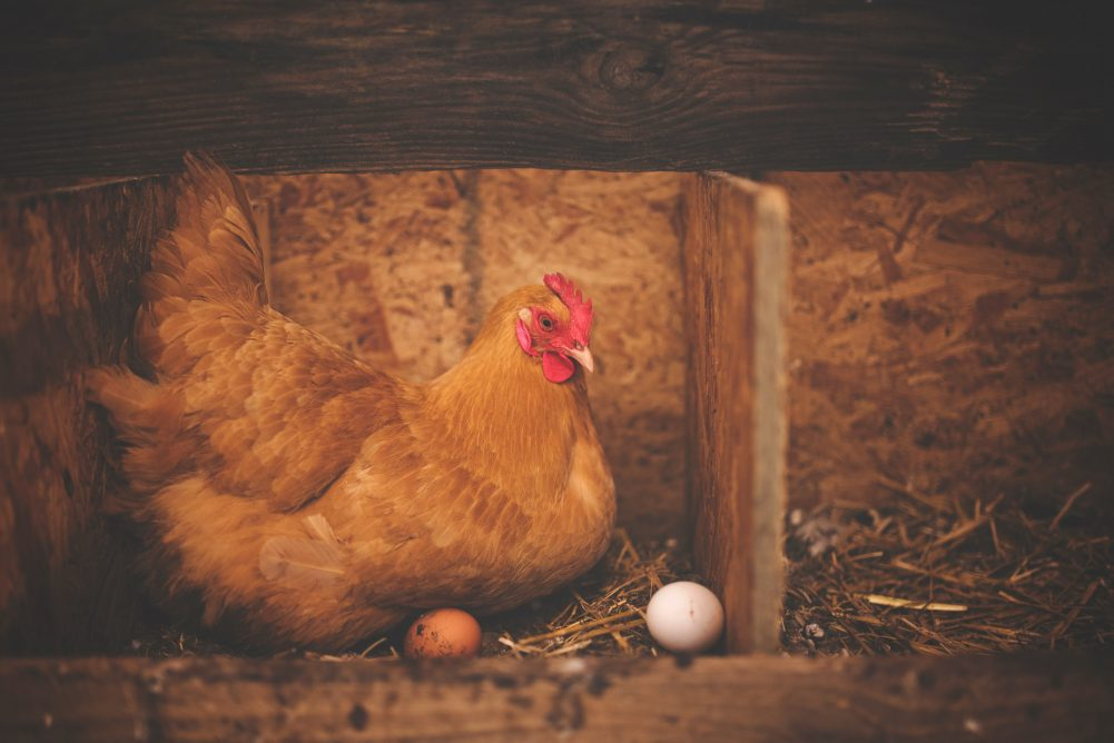 Moving Chickens Outside - You've finally brought your chickens home and they are getting bigger. It's time to start Moving Chickens Outside! With these easy guide you will be able to make informed decisions on your next steps!