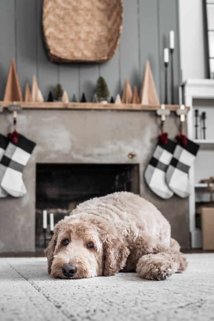 Goldendoodle in front of Christmas Mantel