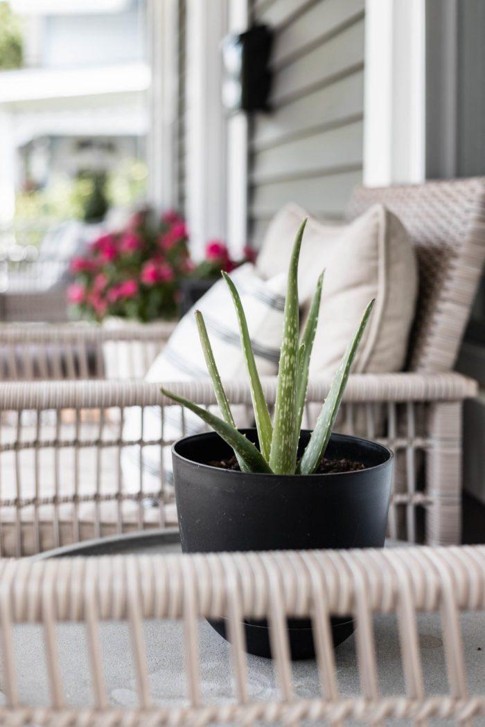 Aloe vera plant in black planter.
